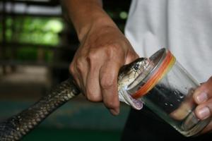 Schlange bei der Ernte ihres Giftes
